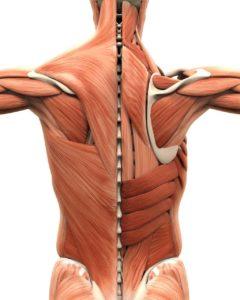 Muskel-Bänder-Sehnen