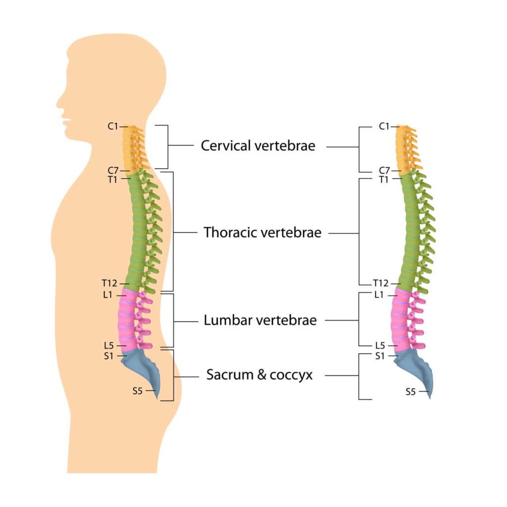 Wirbelsäulen-Abschnitte
